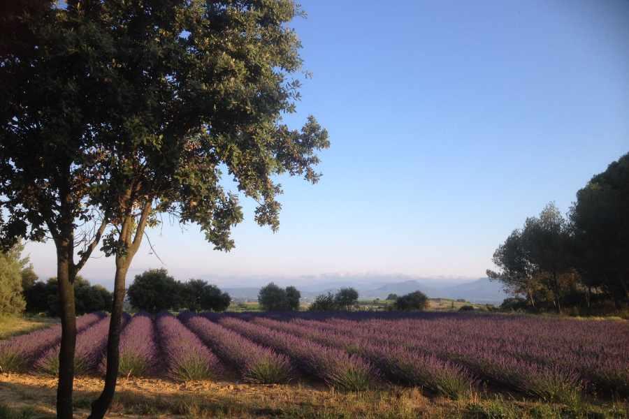 champs de lavande mas de villetelle hérault Gignac